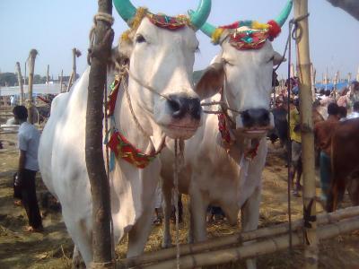 দোহার নবাবগঞ্জ ও কেরানীগঞ্জে কোরবানির পশুর দাম চড়া