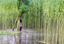 নবাবগঞ্জে সোনালী আঁশ পাট নিয়ে ব্যস্ত কৃষকরা